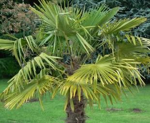 Palma - Costo palma da giardino ...
