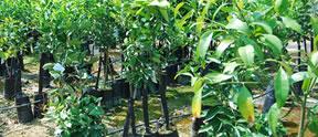 Vivaio negri produzione e vendita piante da giardino e piante da frutto a latiano brindisi - Piante mediterranee da giardino ...
